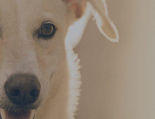 Basset Bleu deu Gascogne – Breeders, Puppies and Breed Information