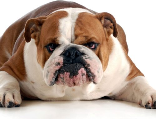 English Bulldog / British Bulldog – Breeders, Puppies and Breed Information