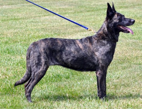 Dutch Shepherd Dog – Breeders, Puppies and Breed Information