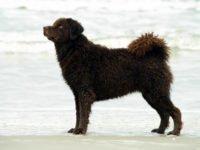 Wetterhoun Dog - Breeders