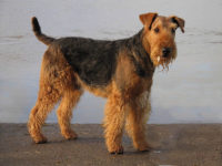 Airedale Terrier - Breeders