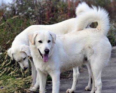 Akbash Dog - Breeders
