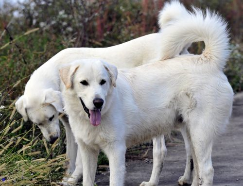 Akbash Dog – Breeders, Puppies and Breed Information