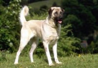 Anatolian Shepherd Dog - Karabash - Breeders