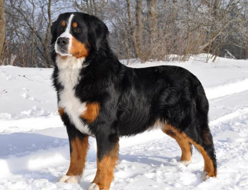 Appenzell Mountain Dog (Appenzeller) – Breeders, Puppies and Breed Information