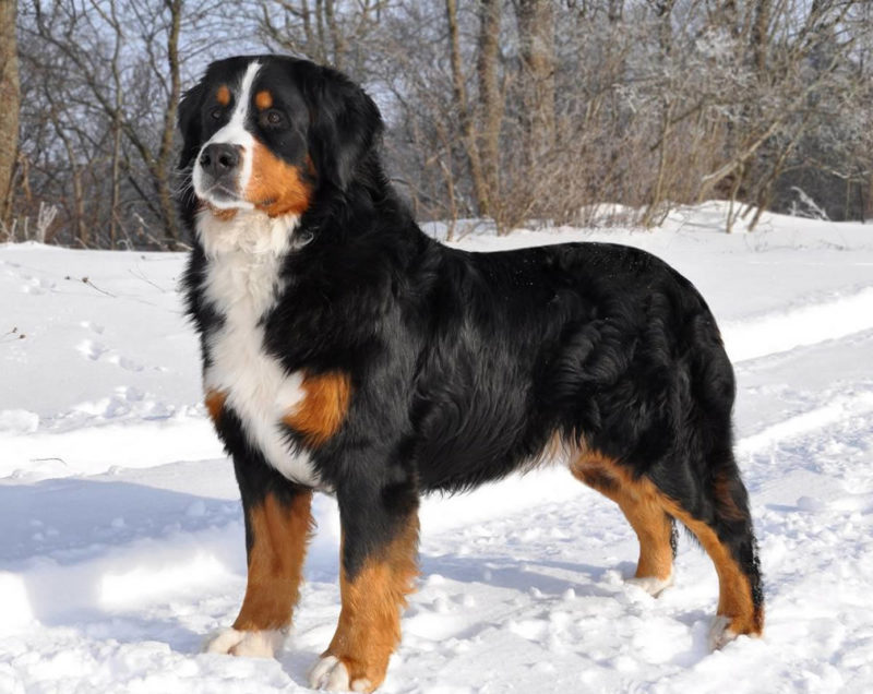 Appenzell Mountain Dog (Appenzeller) - Breeders