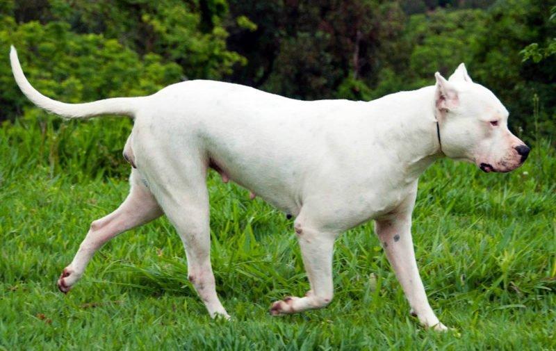 Argentine Dogo - Breeders