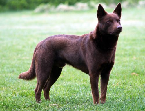 Australian Kelpie – Breeders, Puppies and Breed Information