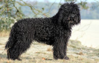 Barbet Dog - Breeders