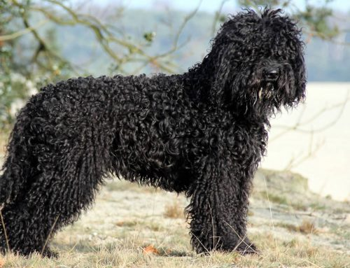Barbet Dog – Breeders, Puppies and Breed Information