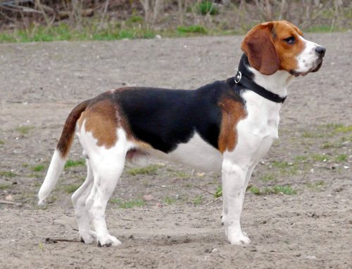 Beagle – Breeders, Puppies and Breed Information