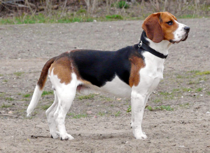 Beagle - Breeders