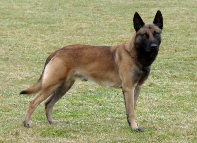 Malinois (or Mechelen) Belgian Shepherd - Breeders