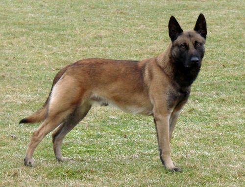 Malinois (or Mechelen) Belgian Shepherd – Breeders, Puppies and Breed Information