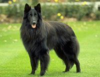 Belgian Shepherd Dog - Breeders