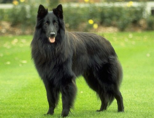 Belgian Shepherd Dog – Breeders, Puppies and Breed Information