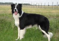 Border Collie - Breeders