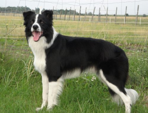 Border Collie – Breeders, Puppies and Breed Information