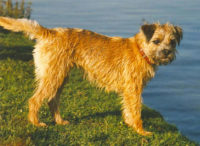 Border Terrier - Breeders