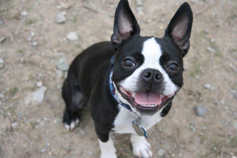 Boston Terrier - Breeders
