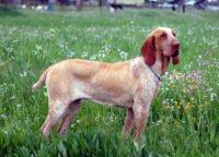 Bracco Italiano - Breeders