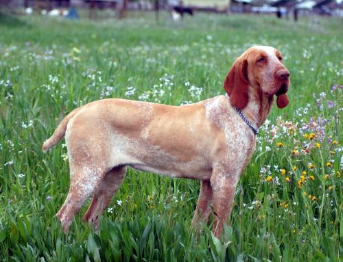 Bracco Italiano – Breeders, Puppies and Breed Information