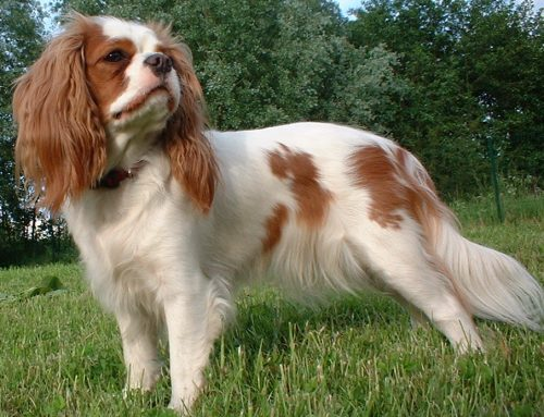 Spaniels – Common traits and Pet Suitability