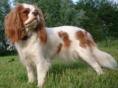 Dandie Dinmont Terrier - Breeders