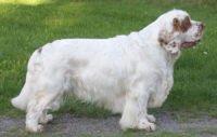 Clumber Spaniel - Breeders