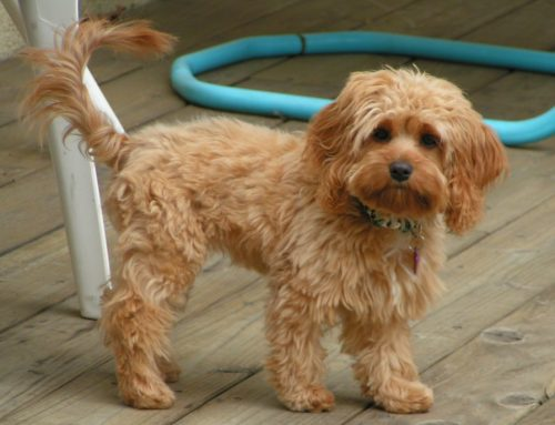 Cockapoo – Breeders, Puppies and Breed Information