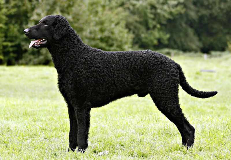 Curly Coated Retriever - Breeders
