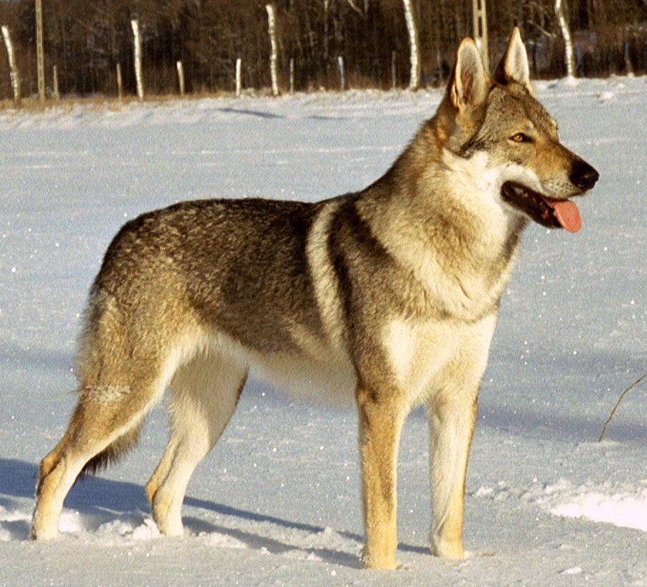 Czechoslovakian Wolfdog - Breeders