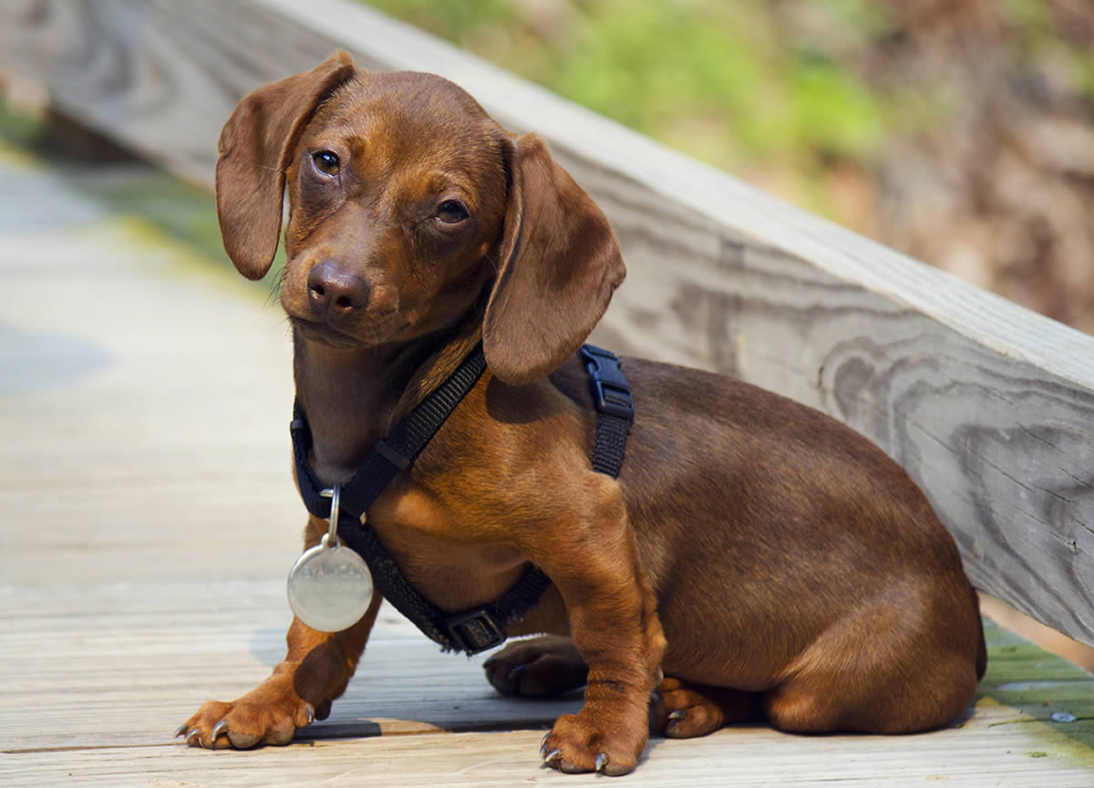Dachshund – Breeders, Puppies and Breed Information