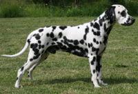 Dalmatian - Breeders