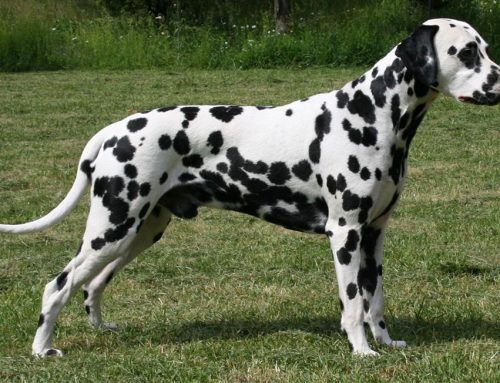 Dalmatian – Breeders, Puppies and Breed Information