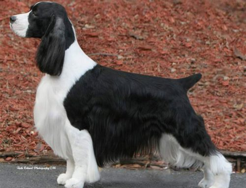 English Springer Spaniel – Breeders, Puppies and Breed Information