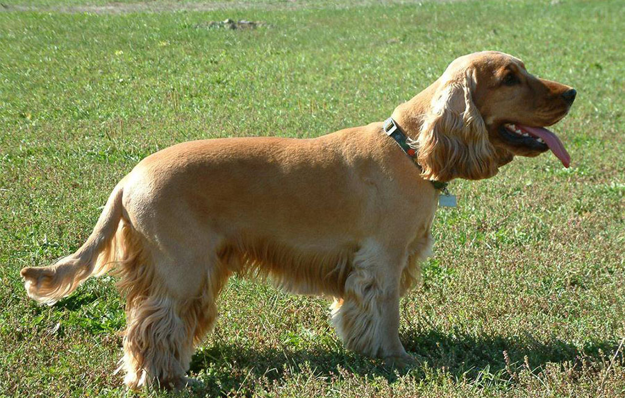 English Cocker Spaniel - Breeders