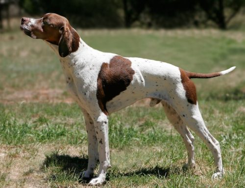 English Pointer – Breeders, Puppies and Breed Information