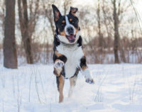 Greater Swiss Mountain Dog - Breeders