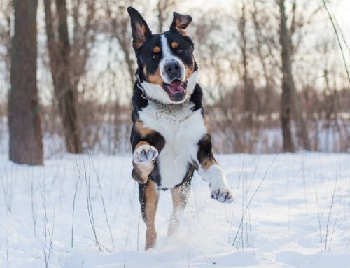 Greater Swiss Mountain Dog – Breeders, Puppies and Breed Information