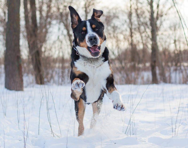 Greater Swiss Mountain Dog - Breeders