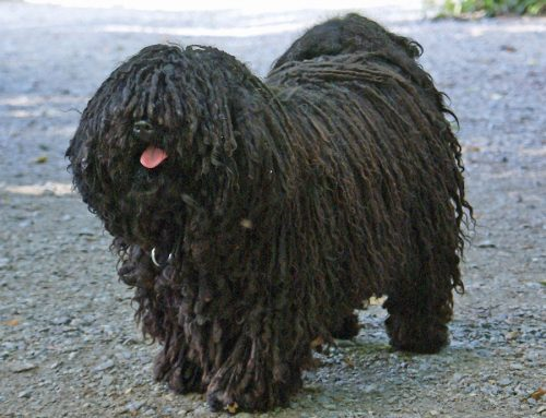 Hungarian Puli – Breeders, Puppies and Breed Information