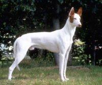 Ibizan Hound - Breeders