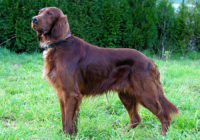 Irish Setter - Red Setter - Breeders