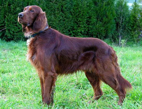 Irish Setter – Red Setter – Breeders, Puppies and Breed Information