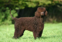 Irish Water Spaniel - Breeders