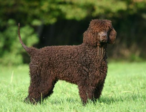 Irish Water Spaniel – Breeders, Puppies and Breed Information