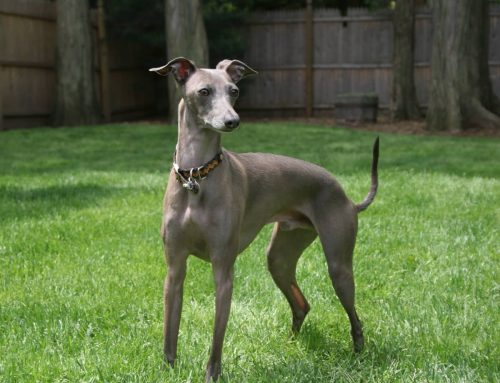 Italian Greyhound – Breeders, Puppies and Breed Information