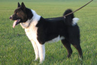Karelian Bear Dog - Breeders