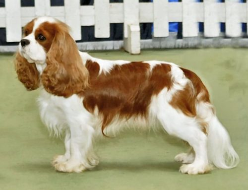 King Charles Spaniel – Breeders, Puppies and Breed Information